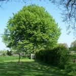 De grote eikenboom in de achtertuin